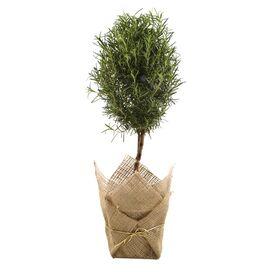 Live Rosemary Topiary