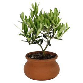 Live Olive Tree
