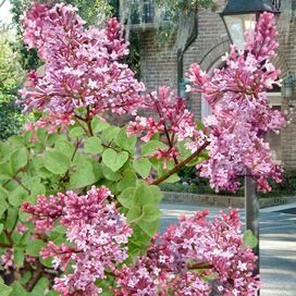 Live Reblooming Josee Lilac (Set of 2)