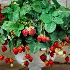 Live Eversweet Strawberry Plants (Set of 25)