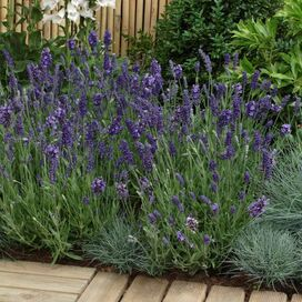 Lavender, 'Ellegance' - 3pc (Set of 3)