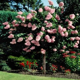 Live Pink Diamond Hydrangea Tree